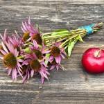 Echinacea: à prendre dès les premiers symptômes
